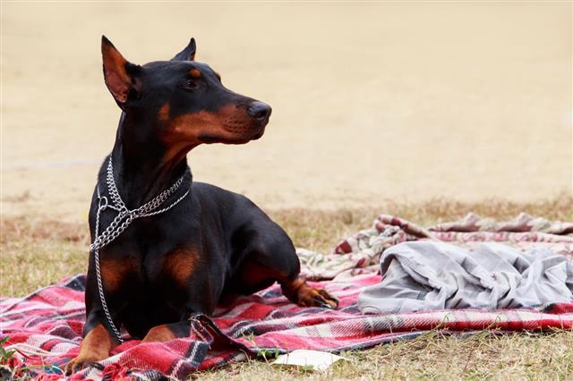Доберман: нормы веса для щенка и взрослой собаки