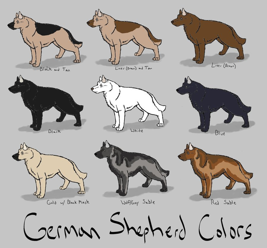 Немецкая овчарка зонарного окраса