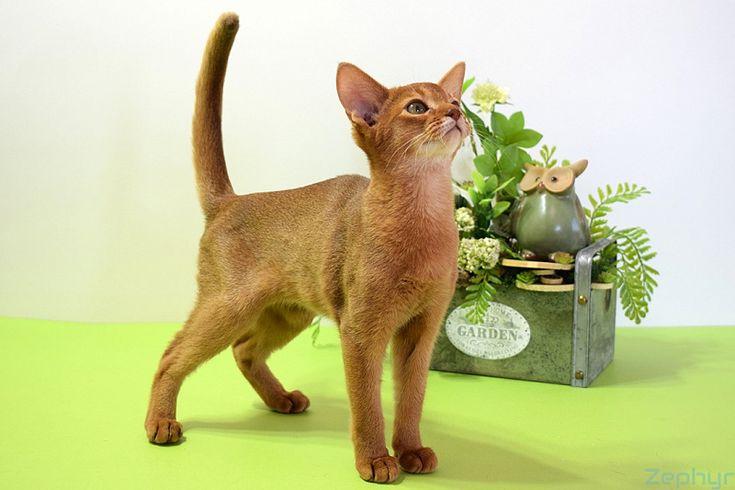 Абиссинские кошки окраса соррель и их особенности 4