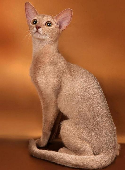 Абиссинские кошки окраса фавн и их особенности 3