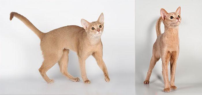 Абиссинские кошки окраса фавн и их особенности 2