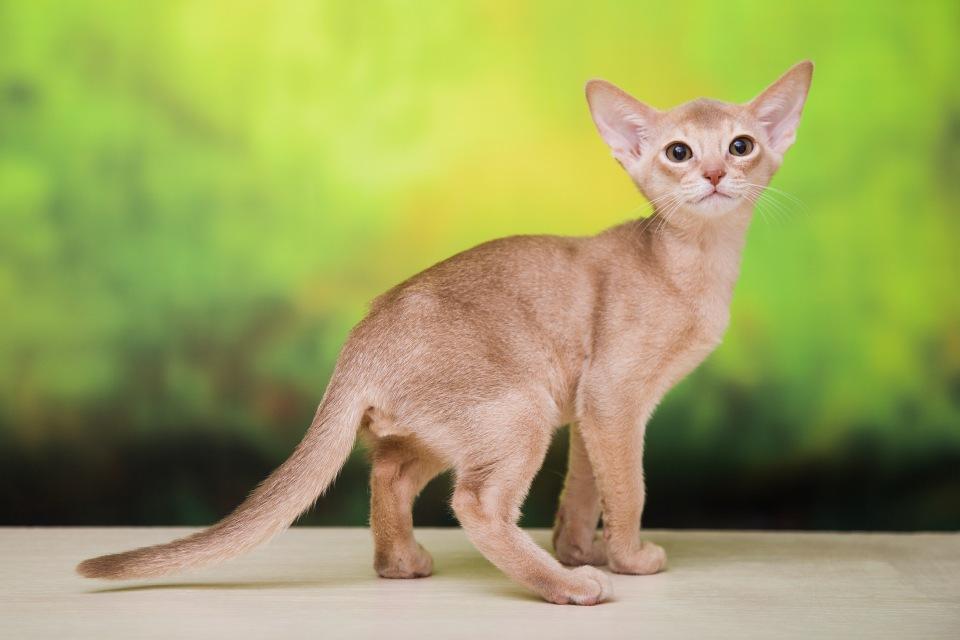 Абиссинские кошки окраса соррель и их особенности 1