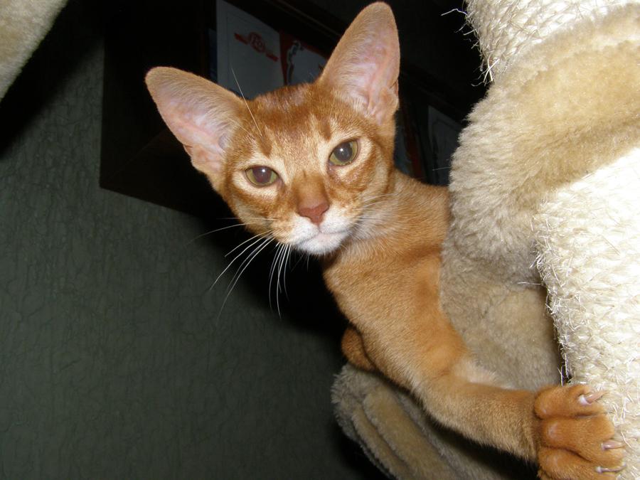 Абиссинские кошки окраса соррель и их особенности 3